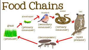 Create Flow Charts That Show Four Different Food Chains Food Chains For Ks1 And Ks2 Children Food Chains Homework
