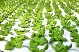 er lettuce from gotham greens a new hydroponic garden in industrial greenpoint brooklyn credit chang w lee the new york times