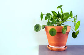 chinese money plant tips how to care