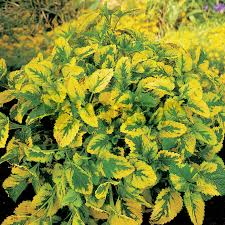 balm variegated 1 plant garden kitchen herb for cooking plants from gardeners dream uk
