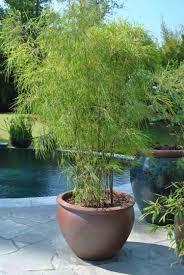 Bambou En Pot Brise Vue Naturel Et D Co Sur La Terrasse Bambou Fargesia En Pot Pour Terrasse