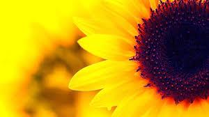 High Resolution Sunflower Desktop ...