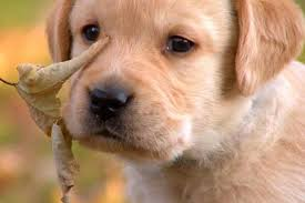 another of the labrador retriever puppies learns about the great outdoors