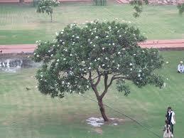 neem tree essay neem tree essay neem tree essaythe neem tree a miracle plant neem tree essay kind of essay writing