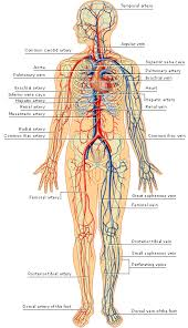 Arteries And Veins Of The Human Body Arteries Inside The