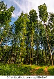 Image result for tall trees
