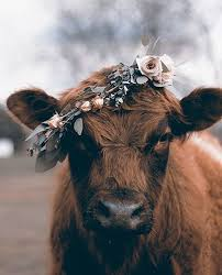 Image result for cow face