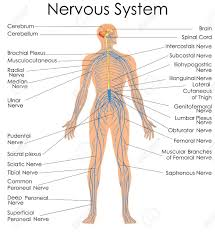 Nerve Chart Leg Medical Education Chart Of Biology For Nervous System Diagram