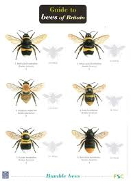 Guide To Bees Of Britain Identification