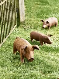 rusty pig pig wooden garden ornaments