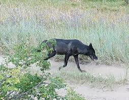 <b>Black wolf</b> - Wikipedia