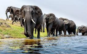 essay on elephants short essay on elephants for students  essay on elephants