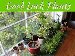 good luck plants for your home my