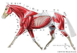 Equine Superficial Musculature Anatomy Chart