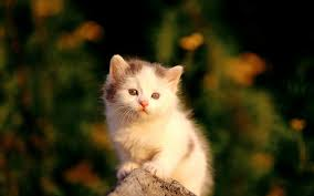 1970x1130 cute cat wallpaper cute baby cat wallpaper android awesome collection of kitten on widescreen with hd