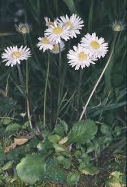 Bellis margaritaefolia