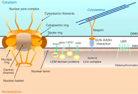 cell nucleus membrane an overview