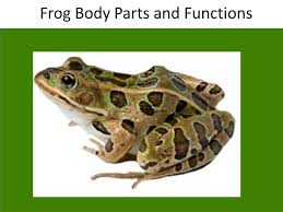 Parts Of A Frog Frog Body Parts And Functions Ppt Video Online Download