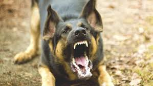 german shepherd attack victims. Simple Attack German Shepherds Rank Third On The List Of Most Commonly Reported  Breeds For Attacks Or On Shepherd Attack Victims A