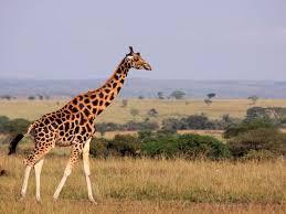 picture of a giraffe.  Picture Giraffe Neck U201c Intended Picture Of A U