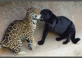 albino black panther. Brilliant Panther The Black Panther Is Not A Species But Rather Melanistic Opposite Of  Albino Leopard Is It Important To Know The Scientific Information About  With Albino Black Panther R