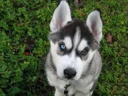 husky puppy shania face close up