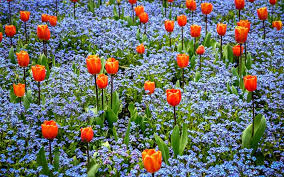 colourful plantings of tulips and forget me nots at the butchart gardens