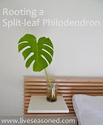 liveseasoned spring2016 philodendron11b
