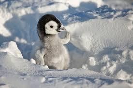 baby penguins.  Penguins Teenage Wasteland With Baby Penguins G