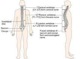 form l5 the vertebral column anatomy and physiology i