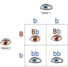 Eye Gene Chart Dna Basics Chapter 8 Genotypes And Phenotypes Myheritage Blog