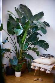 room plants x: pretty plants yes imagine this in the corner of the hall against white walls and nude furnitures very clean