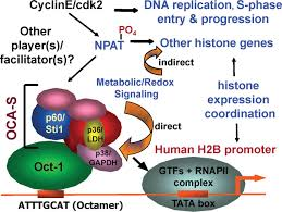 integration of the metabolic redox state histone gene switching figure