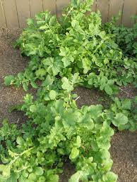 larger arugula plants growing in the garden