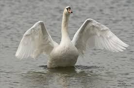Bildresultat för bilder svanar flygande