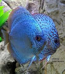 15193429_1510495452300340_7582984270628359670_n.jpg (848×960) | Discus  fish, Tropical freshwater fish, Tropical fish