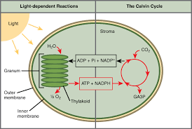 this ilration shows a chloroplast with an outer membrane an inner membrane and stacks