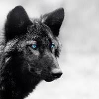 baby black wolf with blue eyes. Cute Black Baby With Blue Eyes Photo Young Wolf