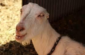 Adorable Lamanchas Goat People