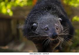 Small Picture Binturong Bear Cat Stock Photos Binturong Bear Cat Stock Images