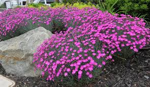 dianthus firewitch ground cover pink flowers showy foliage evergreen perennial sun boarder plant whistler pemberton super