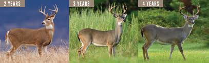 Whitetail Deer Size Chart Antler Size And Determining A Deers Age Mossy Oak