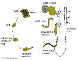 Soybean Cyst Nematode Life Cycle Soybean Cyst Nematode