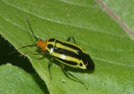 Yellow and black striped garden bug