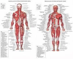 Upper Body Anatomy Muscles Human Body Anatomy Muscles Human