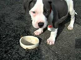 white blue nose pitbull puppies. Contemporary Puppies COM WHITE U0026 BLUE  NOSE PITBULL PUPPIES FOR SALE  In White Blue Nose Pitbull Puppies I