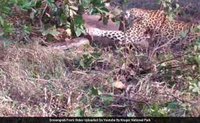Caught On Camera: Giant Python Fights It Out With Leopard And ...