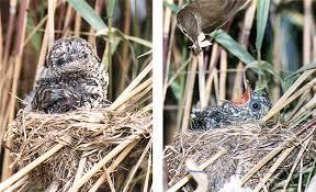 Channel burung liar menyajikan video suara emprit gantil gacor dan bersahutan di alam liar yang direkam pada waktu burung. Burung Kedasih Tak Secantik Namanya Om Kicau