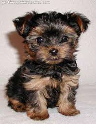 if you don t know a chorkie chihuahua yorkie you should try to meet one they re pretty much the best ever toy yorkie yorkshire terrier puppy