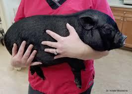 Basic Information Sheet Miniature Pig Lafebervet